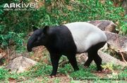 Tapir, Malayan
