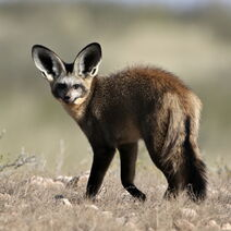 Bat-eared-fox-otocyon-megalotis-at-kgalagadi-transfrontier-park-northern-cape-south-africa-2