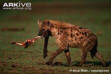 Spotted-hyaena-carrying-buffalo-leg