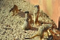 Suricata-suricatta2