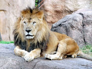 Lion real