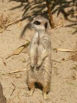 Suricata-suricatta5