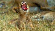Lion-cub-yawning.ngsversion.1469132784685