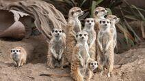 Meerkat ZN