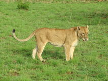 1280px-Lion in Murchison Falls National Park