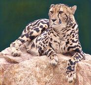 King-cheetah-lying-down