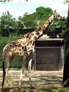 Giraffa-camelopardalis-rothschildi2