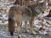 NatureCoywolf TheBeach t700
