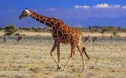 6a giraffe, reticulated - bsp - rwc