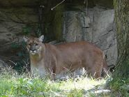 Puma-concolor4