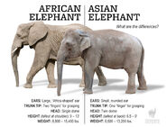 Asian-african-elephants