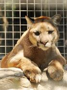 Puma-concolor-oregonensis
