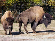 Bison-bison-athabascae3
