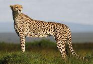 Cheetah-09