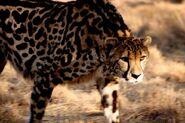 King-cheetah-careless-dreamer-800