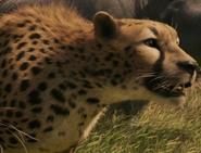 Cheetah-the-chronicles-of-narnia