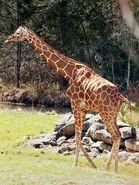 Giraffa-camelopardalis-reticulata4