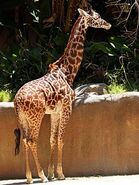 Giraffa-camelopardalis-tippelskirchi4