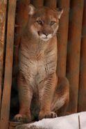 Puma-concolor-missoulensis2
