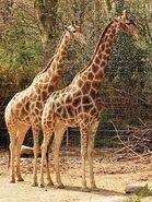 Giraffa-camelopardalis-angolensis4