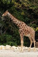 Giraffa-camelopardalis-reticulata3