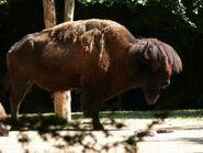 Bison-bison-bison2