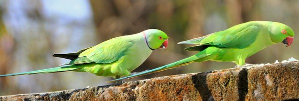 Rose-Ringed Parakeet | Animals Wiki | FANDOM powered by Wikia
