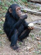Chimpanzee, Common