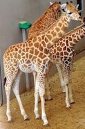Giraffa-camelopardalis-antiquorum1