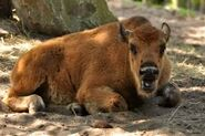 Bison-bison-athabascae5