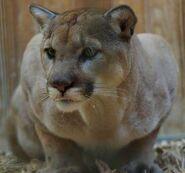 Puma-concolor-missoulensis5