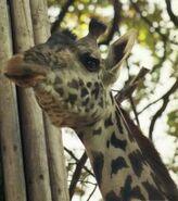 Giraffa-camelopardalis-tippelskirchi6