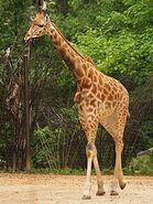 Giraffa-camelopardalis-antiquorum3