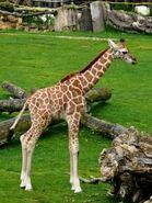 Giraffa-camelopardalis-rothschildi4