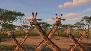 Reticulated-giraffe-madagascar-2
