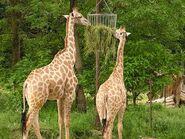 Giraffa-camelopardalis-angolensis3