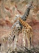 Giraffa-camelopardalis-rothschildi7