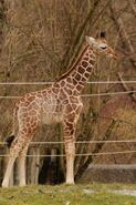 Giraffa-camelopardalis7