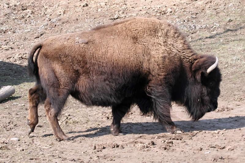 Bison wiki