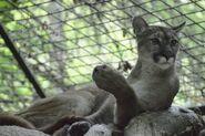 Puma-concolor6