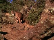 Homeward Bound Mountain Lion