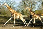 Giraffa-camelopardalis-rothschildi1