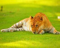 Tigon-hybrid-tiger-lioness