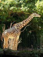 Giraffa-camelopardalis-tippelskirchi1