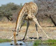 Giraffa-camelopardalis-angolensis1
