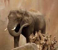 Loxodonta-africana-knochenhaueri5
