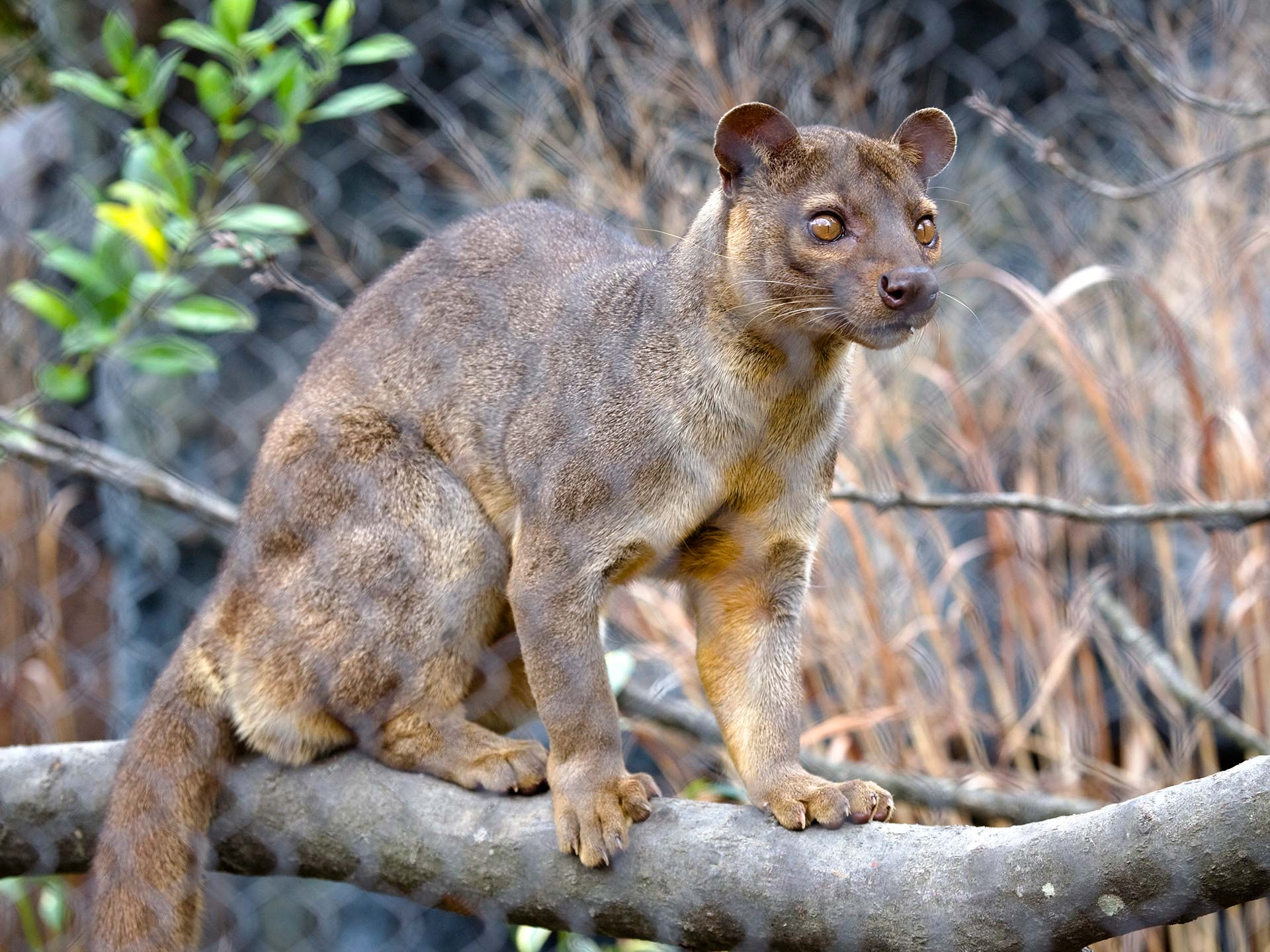 fossa animals wiki fandom powered by wikia