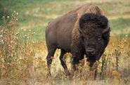 American bison k5680-1