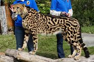King cheetah, AKovacs23-Photobucket