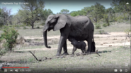 Animal Facts African Elephants